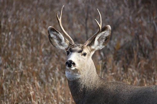 Mule Deer, Buck, Wildlife, Animal, Wild, Mammal, Nature