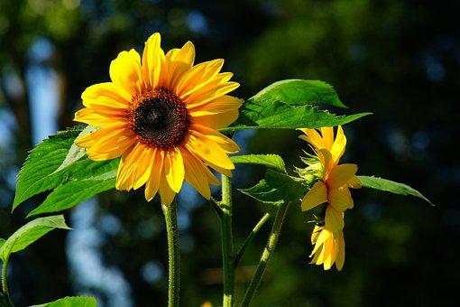 Flower, Sunflower, Late Summer, Yellow, Nature, Blossom
