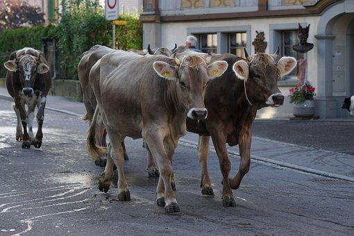 Cattle Show, Appenzell, Village, Cows, Bruchtum