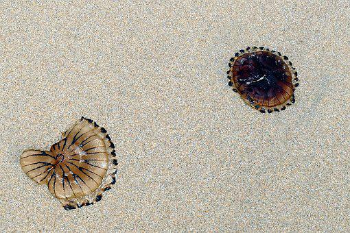 Beach, Jellyfish, Sea, Sand, Nature, Ocean, Life, Water