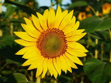 Sun Flower, Blossom, Bloom, Field, Summer, Morning
