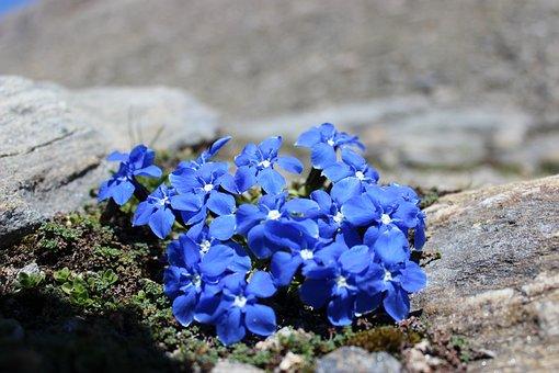 Gentian, Blue, Rock, Mountain Flowers, Plant