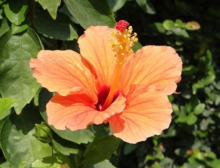 Hibiscus, Peach, Flower, Rosa Sinensis, China Rose