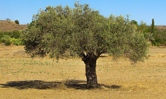 Olive Tree, Countryside, Olive, Rural, Landscape
