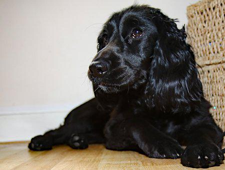 Cocker Spaniel, Spaniel, Pet, Dog, Canine, Cocker, Cute