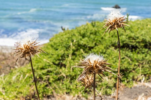 California, Dry, Pacifica, Flower, Drought, Pacific
