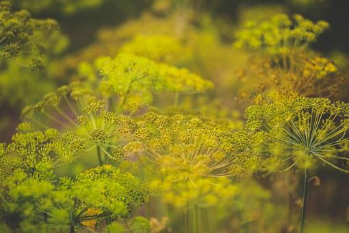 Flower, Flowers, Blooming, Dill, Spice, Spices, Green