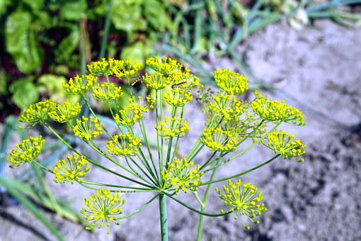 Koper, Dill Italian, Flower, Green, Perennial, Nature
