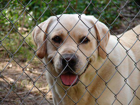 Fence, Dog, Yellow Lab, Happy, Friendly, Loyal, Pen