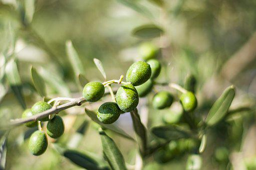 Olives, Tree, Olive Tree, Green, Plant, Garden