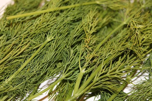 Dill, Green, Spice, Cucumber Herb