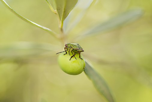 Green Stink Bug, Smelly Bug, Larva, Nezara Viridula