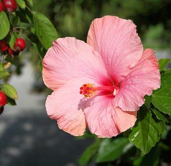 Hibiscus, Flower, Floral, Hibiscus Rosa Sinensis