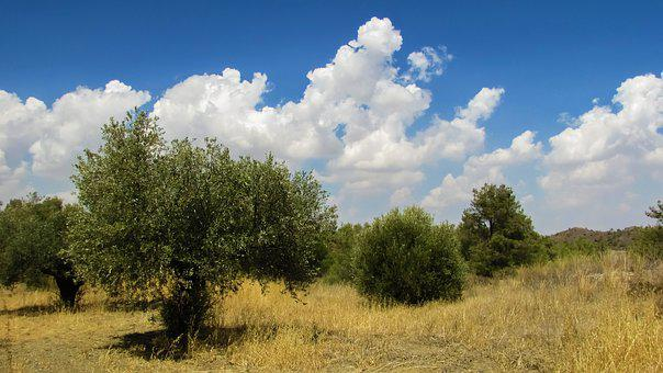Olive Trees, Landscape, Countryside, Rural, Nature