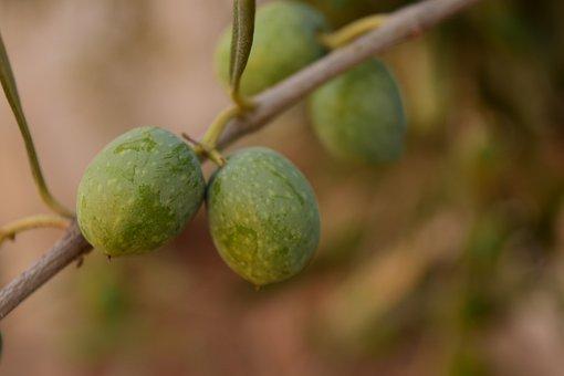 Olives, Green Olives, Green, Mediterranean, Eat, Drupes