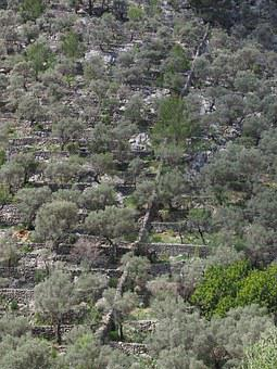 Olive Grove, Mountainside, Slope, Hillside Location