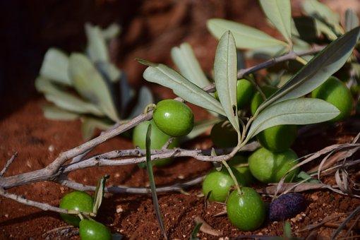 Olives, Green, Green Olives, Mediterranean, Nature