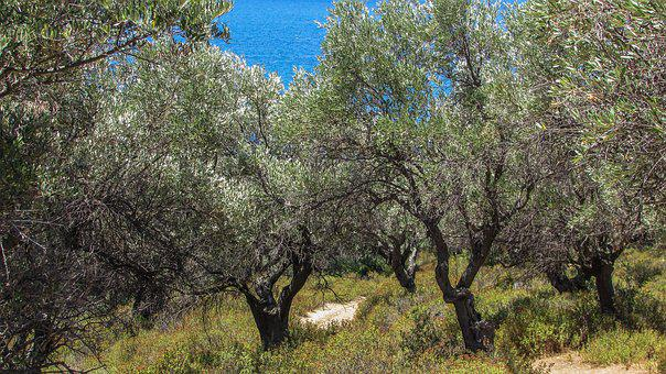Olive Trees, Countryside, Rural, Nature, Landscape