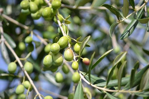 Olives, Green Olives, Olive Grove, Green, Oil