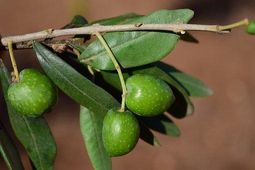 Olive Branch, Olives, Olive Tree, Plant, Nature, Road