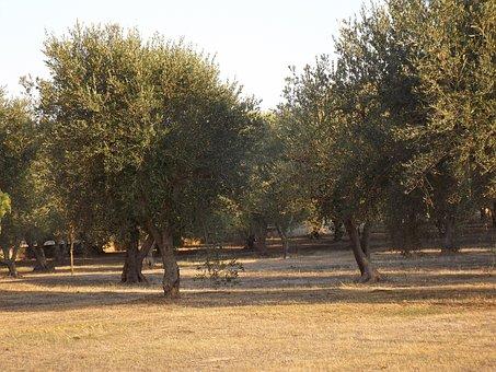 Puglia, Olive Trees, Olive Grove, Green, Oliva