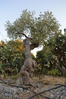 Tree, Olive Tree, Puglia, Olives, Olive Grove