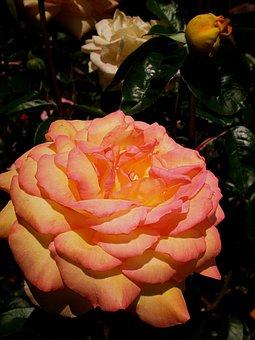 Rose, Flower, Pink-orange, Peach-color