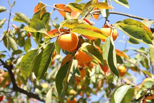 Autumn, Persimmon, Fruit, Dried Persimmon