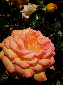 Rose, Flower, Pink-orange, Peach-color