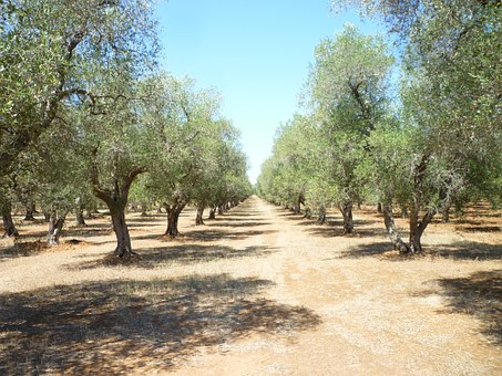 Olive Grove, Puglia, Oil, Olive Plants, Agriculture