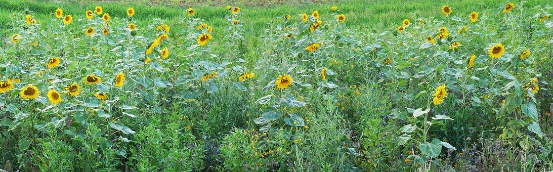 Sunflower, Field, Relief, Meadow, Summer, Yellow, Green
