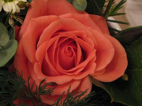Rose, Peach-colored, Flower, Pat On The Back
