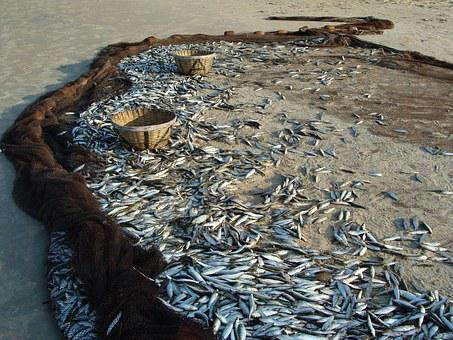 Fish, Indian Oil Sardine, Sardinella Longiceps