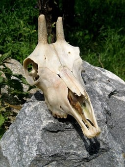 Skull, Goat Buck, Skeleton, Animal, Skull Bone, Old