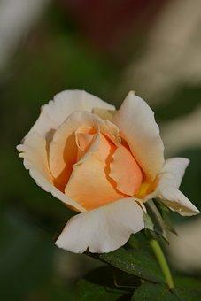 Rose, Flower, Grow, Nature, Spring, Fresh, Sun, Peach
