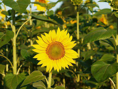Sunflower, Blossom, Bloom, From The Front, Sunny
