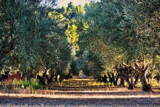 Olive Tree, Tree, Olives, Orchard, Green, Forest