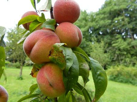 Peaches, Tree, Fruits, Fruit, Stone Fruit