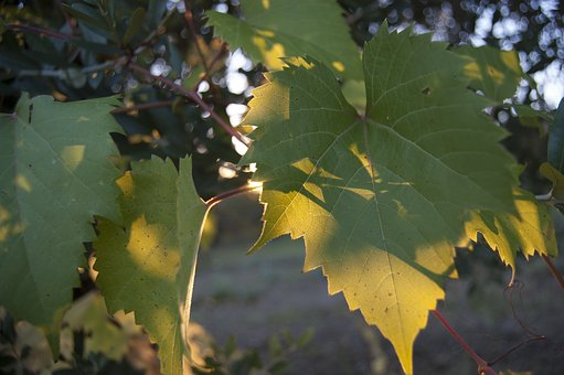 Vineyard, Winter Time, Olive Oil, Leaf, Vine Leaves