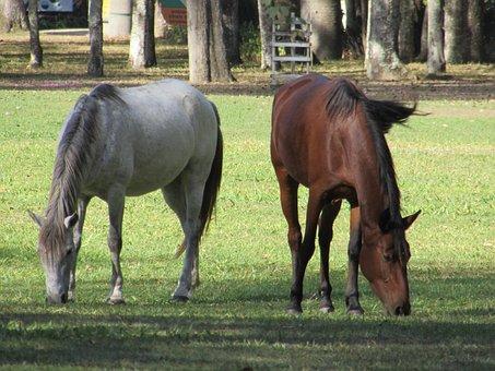 Horses, Haras, Animal
