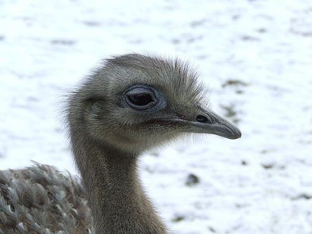 Ostrich Chick, Chick, Ostrich, Feathers, Bird, Wings