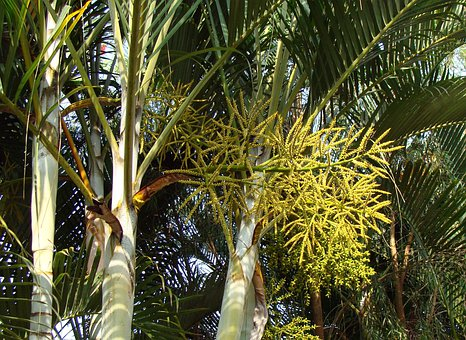 Golden Cane Palm, Butterfly Palm, Madagascar Palm