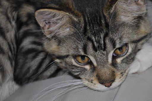 Cat, Mainecoon