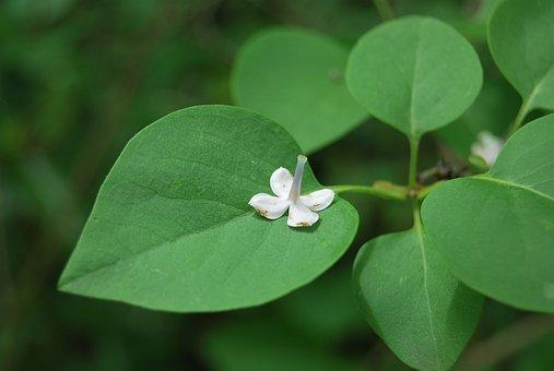 Flower, Green, Nature, Liliac, Leaves, A Flower