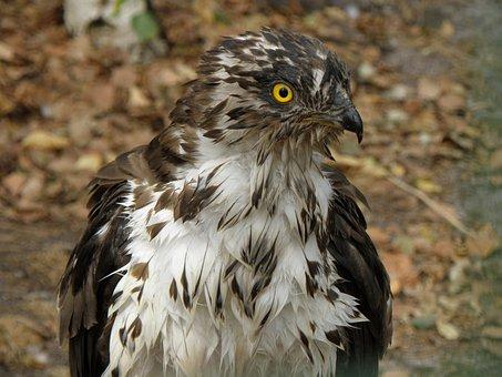 Eagle, Včelojed Forest, Pernis Apivorus, Predator, Head