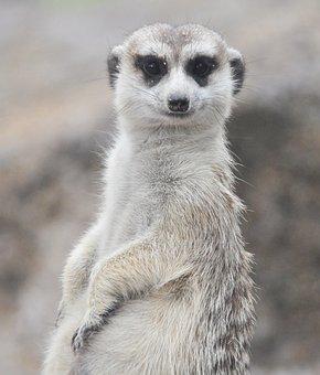 Meerkat, Animals, Portrait, Zoo, Fur, Desert Animals