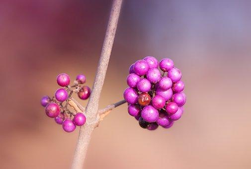 Berries, Violet, Nature, Plant, Purple