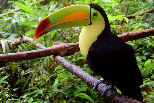 Belize, Belize Zoo, Toucan, Bird, Travel, Nature