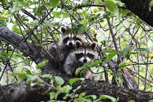 Raccoon, Animal, Wildlife, Fur, Tree, Woodland, Natural
