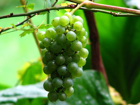 Wine, Grape, Vine, Grapes, Winegrowing, Green